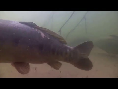 Onderwaterbeelden van grote karpers op circuitwater